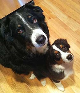 introduce-a-puppy-to-an-older-dog
